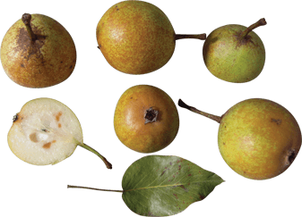 Arlingham Squash