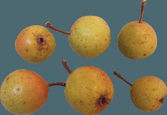 christmas-pear