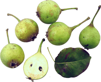 High Pear