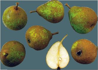 Penny Pear