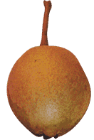 Potato Pear