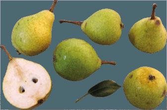 Speart Pear
